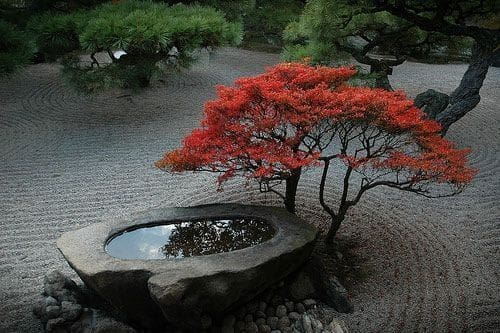 Japanese maple in Japanese garden